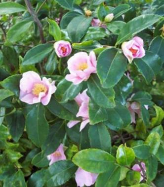 Winter's Star Camellia