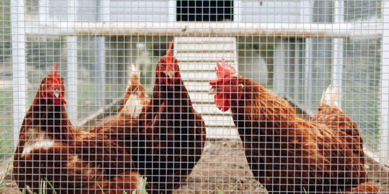 21 Amazing Chicken Coop Nesting Box Ideas