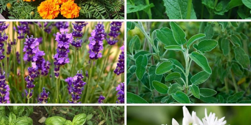 12 Plants that Help Repel Bugs Naturally