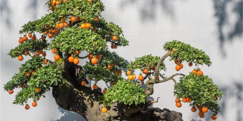 Bonsai Fruit Tree