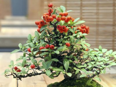 Can Bonsai Tree Produce Fruits