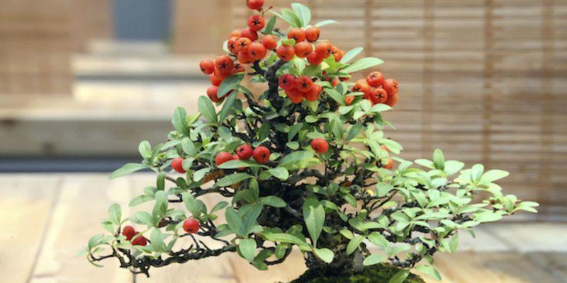 Can Bonsai Tree Produce Fruits