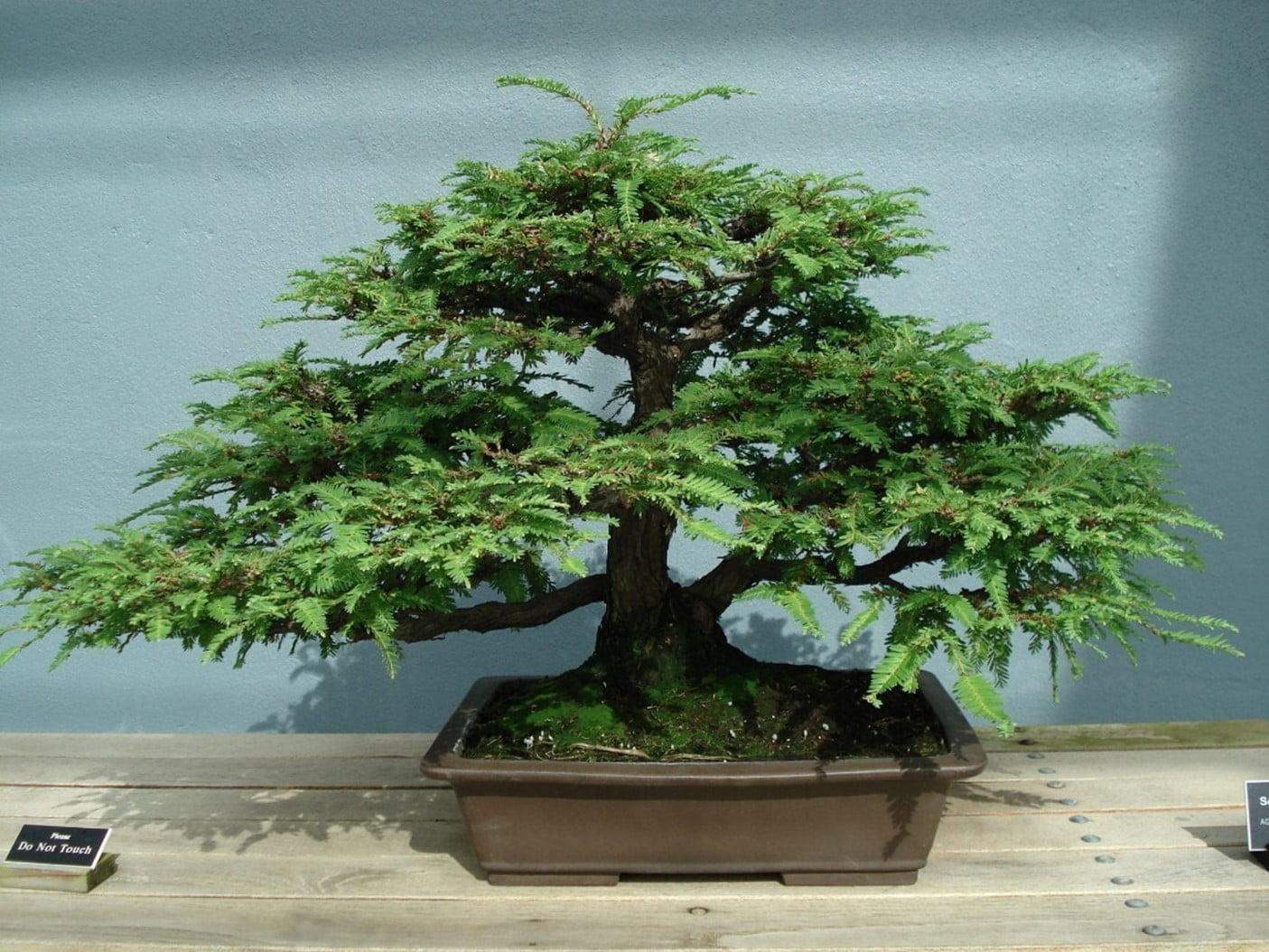 Caring Sequoia Bonsai