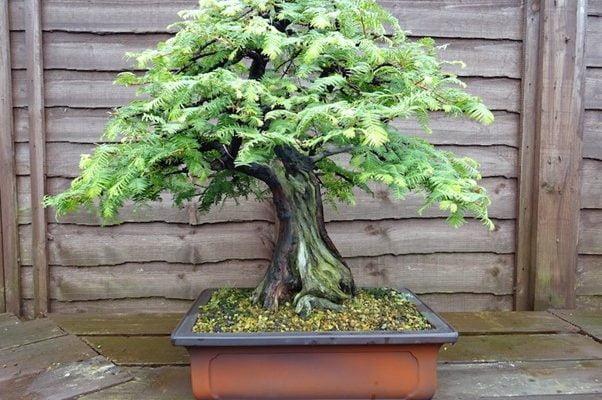 Giant Sequoia Bonsai Tree Care Guide