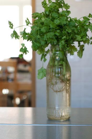 Grow Cilantro from Cuttings