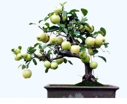 How Do You Germinate Apple Seeds