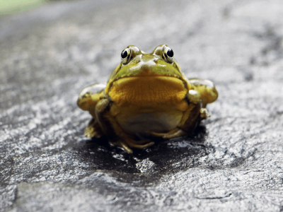 How to Get Rid of Frogs Humanly or as Gentle as Possible