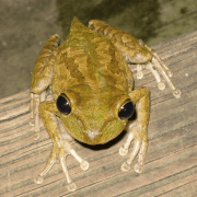 How to Get Rid of Tree Frogs and Toads
