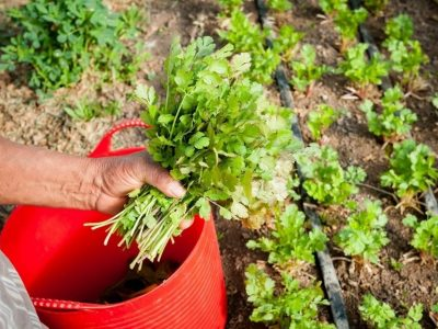 How to Grow Cilantro from Cuttings (Full Guide)