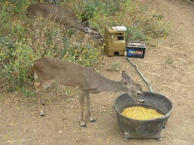 Is It Bad to Feed Deer