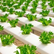 Is PVC Unsafe for Hydroponic Gardening