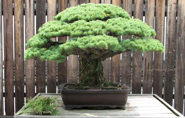 Old Pine Bonsai Tree