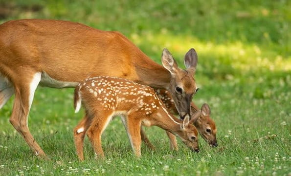 Reasons for Why You Shouldn't Feed Deer