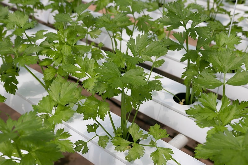 Tips and Tricks for Growing Cilantro