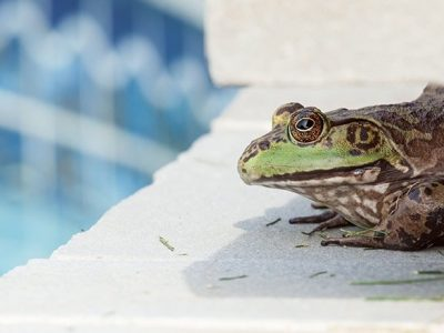 Top 5 Ways to Get Rid of Frogs in Your Pool