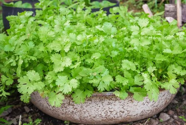 What Are Some Tips to Grow Cilantro
