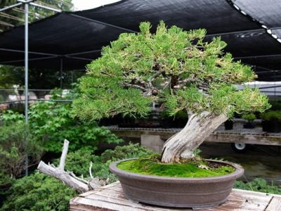 What Do You Mean by Bonsai Tree