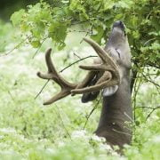 What Does A Deer Feed Off in Nature