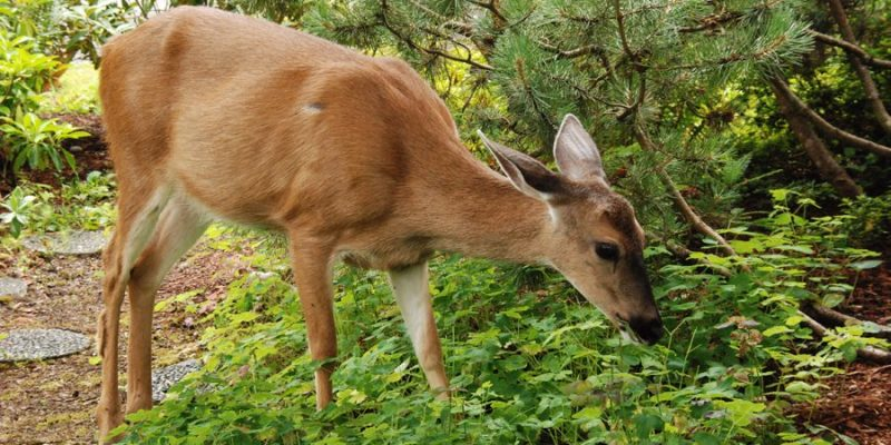 What Plants do Deer Eat from your Yard