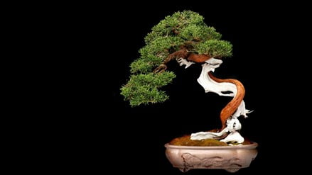 What are Bonsai Trees