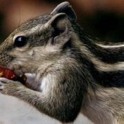 What to Feed Pet Squirrels