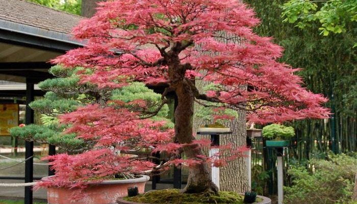 Which Type of Tree Is Good for Making Bonsai