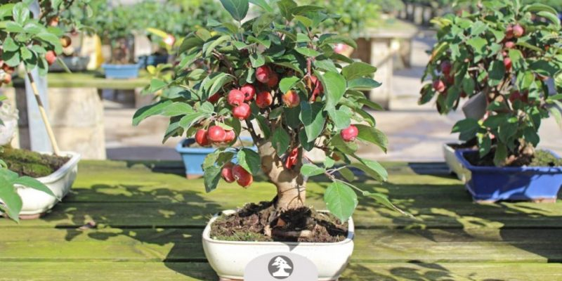 Apple Bonsai Tree