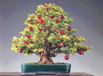 Apple Bonsai Tree (Clusia Rosea)