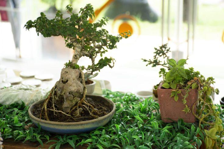 Apple Tree into a Bonsai