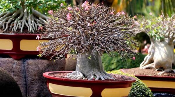 Average Pot Size for Sequoia Bonsai