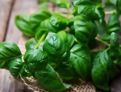Basil Plants to Repel Fleas
