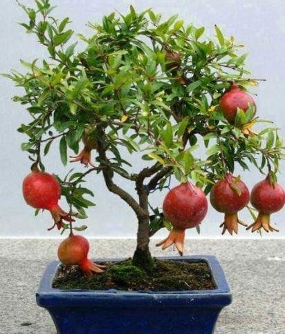 Bonsai Apple Tree in a Pit
