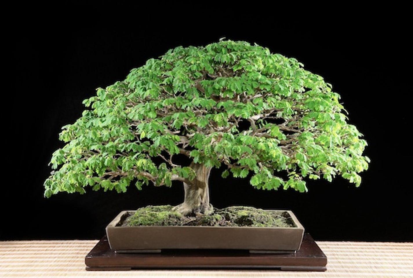 Brazilian raintree (Pithecellobium Tortum)