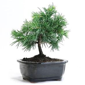Cedar (Cedrus spp.)
