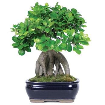 Ginseng Ficus (Ficus Retusa)