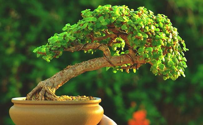 Green Trees bonsai