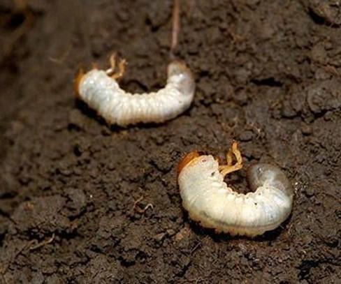 Grubs (Grub Worms) Holotrichia