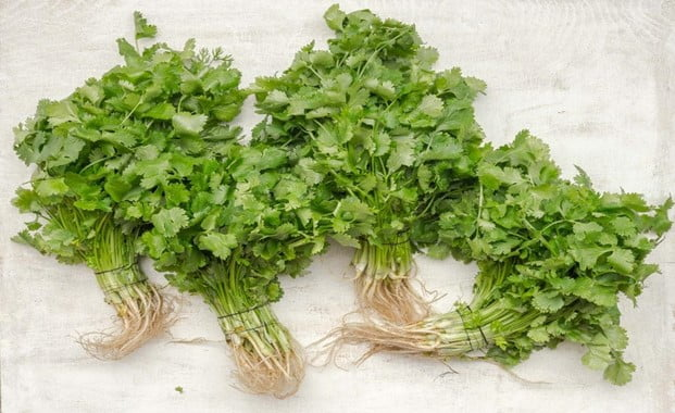 How Long Does Cilantro Take to Grow