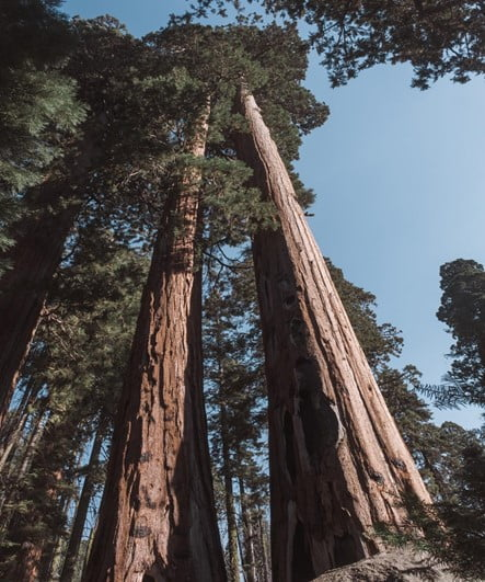 How To Germinate Large Sequoia Bonsai