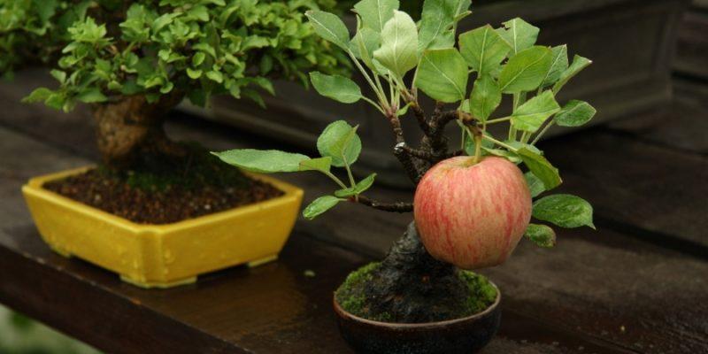 How To Gorm an Apple Tree into A Bonsai