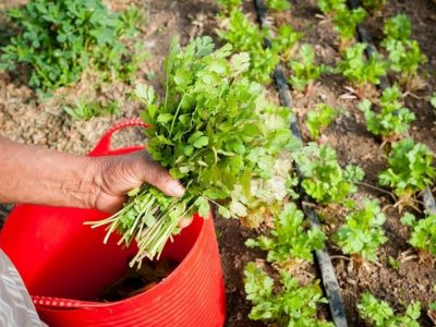 How To Grow Cilantro Guide Inside and Outside