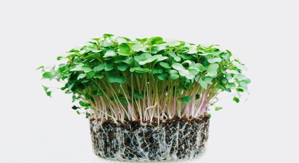 How To Grow Cilantro from Cutting