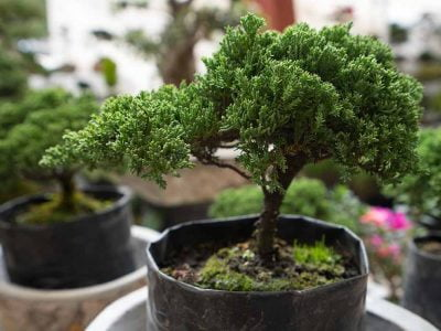 How To Make Bonsai Tree and How Much Time Will It Take