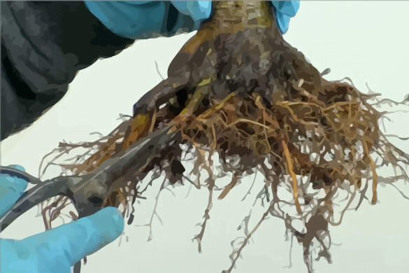 Importance of Root Pruning