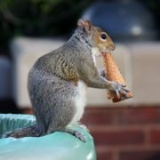 Is it Safe to Eat Squirrel Let us Find Out!