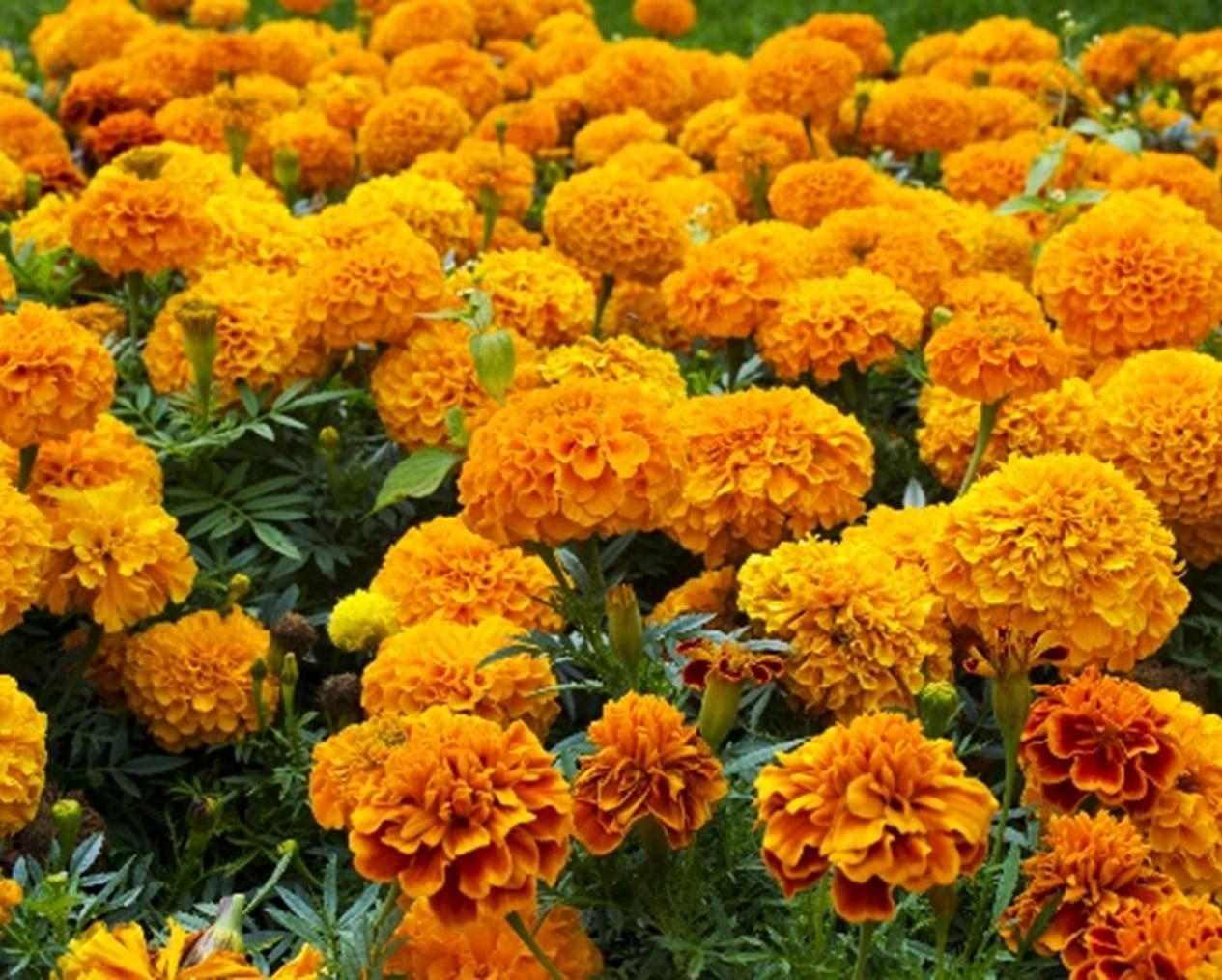 Marigold Plants to Repel Fleas