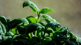 Methods To Grow Cilantro