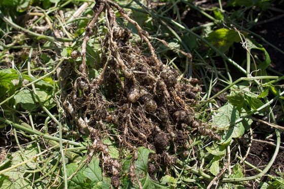 Plant-parasitic Nematodes