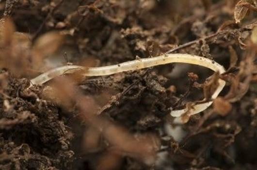 Pot Worms