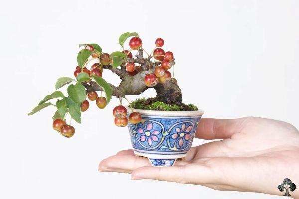 Turn Apple Tree into a Bonsai